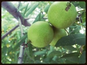 Black walnuts, southern California. Photo by Sunny Savage