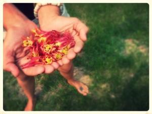 Wild Columbine flowers, northern Minnesota. Photo by Sunny Savage