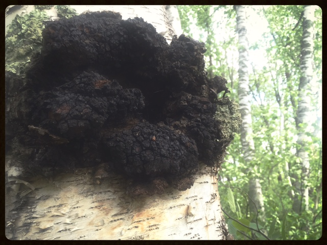 Chaga (Inonotus obliquus). Ethically wild-harvested in northern MN. Photo by Sunny Savage