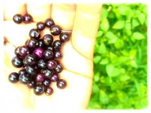 Purple Popolo Berries